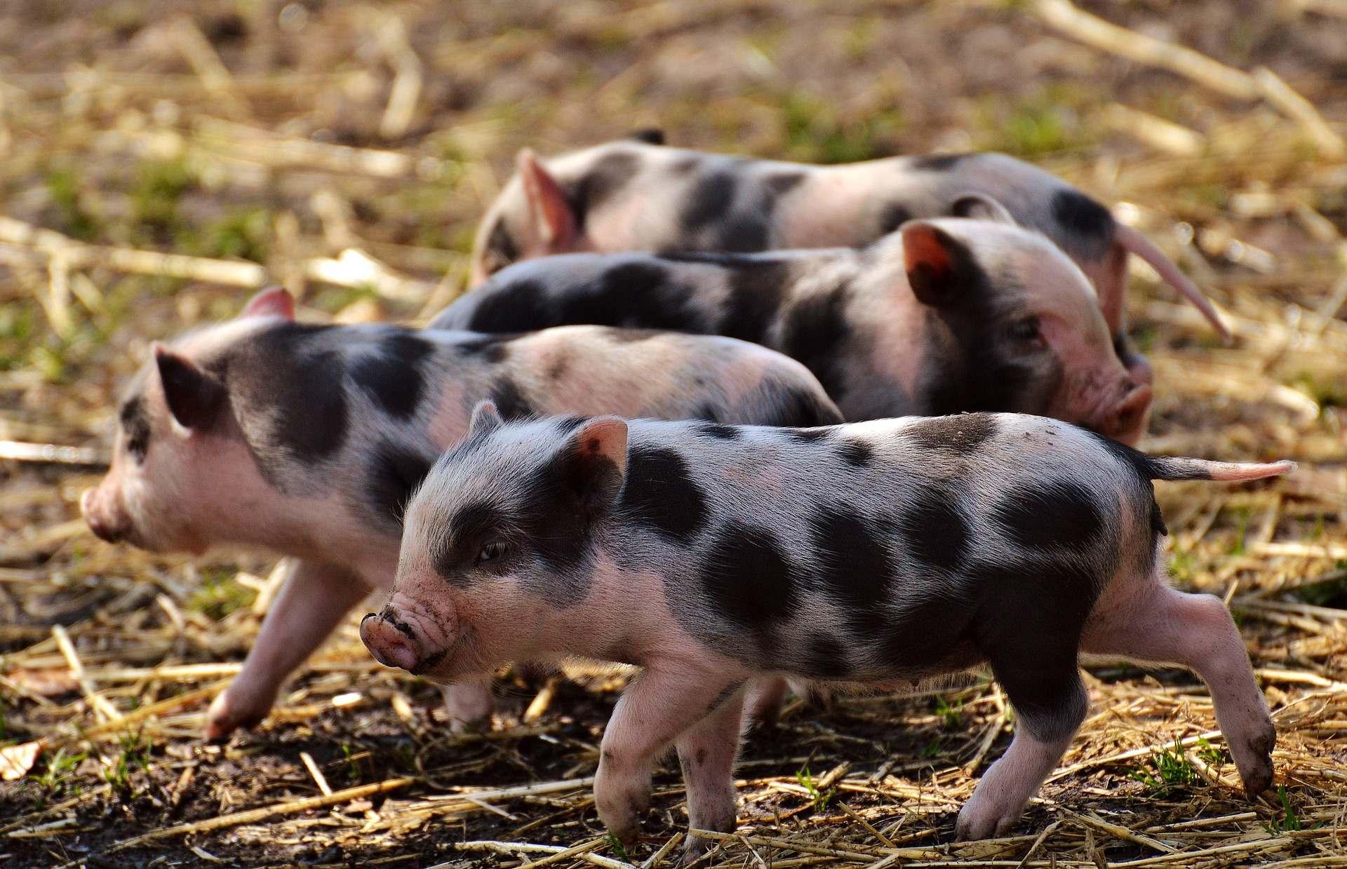 Biodigestor para dejetos de suínos e resíduos de silagem de milho na Alemanha